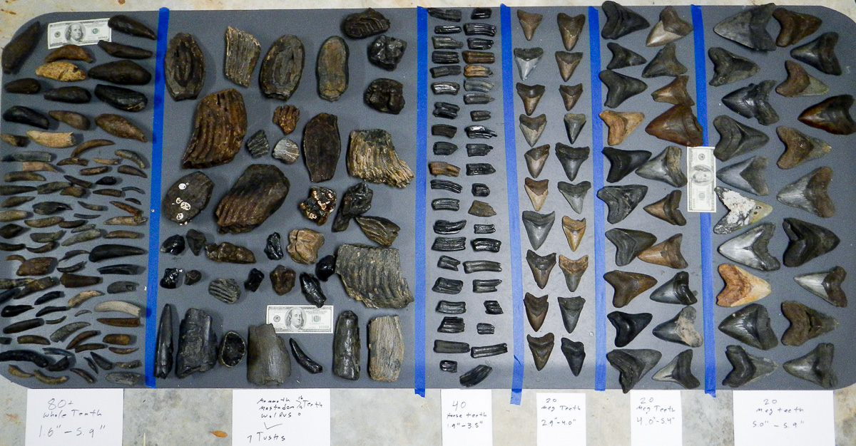 Fossil Megalodon Shark Teeth Wholesale Lot For Sale Number 2