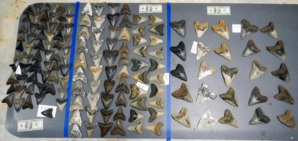 Fossil Megalodon Shark Teeth Wholesale Lot For Sale Number 1